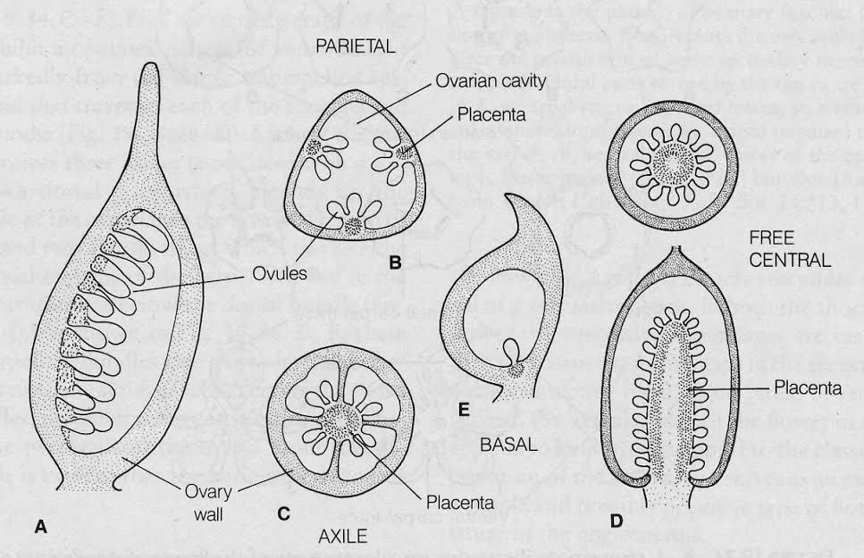 Plant physiology sixth edition a diagram illustrating the basic types of placentation a e longitudinal sections of individual carpels in which there are two longitudinal rows of ccuart Gallery