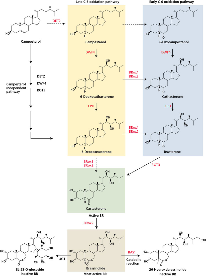 brassinosteroids signaling pathway